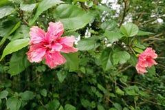 Flor cor-de-rosa após a chuva em uma rua Fotografia de Stock Royalty Free