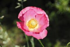 Flor cor-de-rosa avermelhada de Brier imagens de stock royalty free
