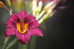 Flor cor-de-rosa bonita Fotos de Stock Royalty Free
