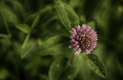 Flor cor-de-rosa bonita Imagens de Stock Royalty Free