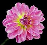 Flor cor-de-rosa bonita Imagem de Stock