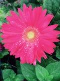 Flor cor-de-rosa bonita Fotografia de Stock
