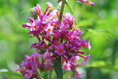 Flor cor-de-rosa bonita brilhante da inflorescência Imagens de Stock