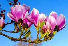 Flor cor-de-rosa bonita da árvore da magnólia foto de stock