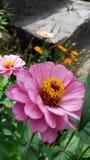 Flor cor-de-rosa bonita da flor imagem de stock