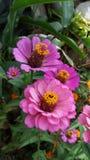 Flor cor-de-rosa bonita da flor Foto de Stock
