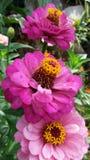 Flor cor-de-rosa bonita da flor imagens de stock royalty free