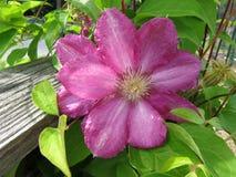 Flor cor-de-rosa bonita da clematite na mola em maio imagem de stock