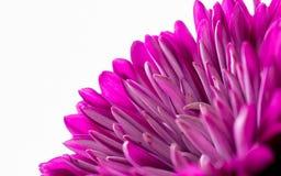 Flor cor-de-rosa bonita da dália Fotografia de Stock