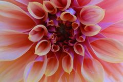 Flor cor-de-rosa bonita da dália Isolado, close-up, fundo foto de stock