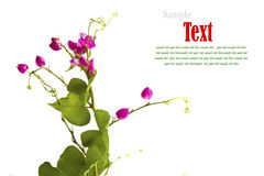 Flor cor-de-rosa bonita da erva daninha pequena isolada Imagens de Stock