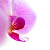Flor cor-de-rosa bonita da orquídea isolada no fundo branco Fotografia de Stock