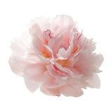 Flor cor-de-rosa bonita da peônia isolada no branco Imagens de Stock Royalty Free
