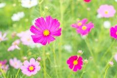 Flor cor-de-rosa bonita do cosmos Foto de Stock