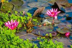 Flor cor-de-rosa bonita do lírio de água do Nymphaeaceae no lago Fotografia de Stock