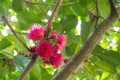 Flor cor-de-rosa bonita bonita do malaccense do syzygium nela ramo em uma estação de mola em um jardim botânico Fotografia de Stock Royalty Free