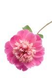 Flor cor-de-rosa bonita do peony isolada Fotografia de Stock