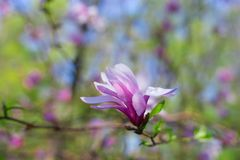 Flor cor-de-rosa bonita e macia da magnólia com foco seletivo Fotografia de Stock Royalty Free
