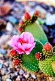 Flor cor-de-rosa bonita em um cacto do deserto imagens de stock royalty free