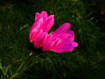Flor cor-de-rosa bonita que procura a luz solar imagem de stock