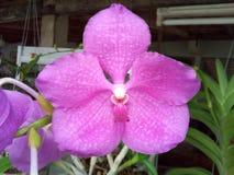 Flor cor-de-rosa bonita Tailândia da orquídea Fotografia de Stock