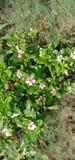 Flor cor-de-rosa bonito com folhas fotografia de stock royalty free