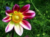 Flor cor-de-rosa, branca e amarela colorida Foto de Stock