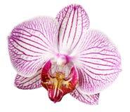 Flor cor-de-rosa-branco-amarela da orquídea Isolado no fundo branco com trajeto de grampeamento closeup Flor grande rajado hetero Foto de Stock Royalty Free