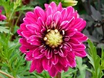 Flor cor-de-rosa brilhante Fotos de Stock