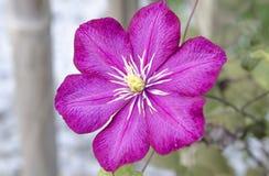 Flor cor-de-rosa brilhante da clematite perto da cerca de madeira imagens de stock