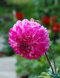 Flor cor-de-rosa brilhante da dália Foto de Stock Royalty Free
