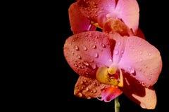 Flor cor-de-rosa brilhante da orquídea no sol Imagens de Stock
