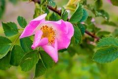 Flor cor-de-rosa brilhante, uma mola fina ou day_ do verão Fotografia de Stock