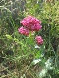 Flor cor-de-rosa BRITÂNICA selvagem da praia Imagens de Stock Royalty Free