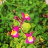 Flor cor-de-rosa com amarelo na natureza Imagem de Stock Royalty Free