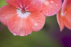 Flor cor-de-rosa com gotas da água Fotografia de Stock Royalty Free