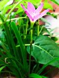 Flor cor-de-rosa com hastes longas Fotos de Stock Royalty Free