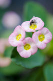 Flor cor-de-rosa com inseto Fotografia de Stock Royalty Free