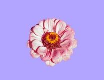 Flor cor-de-rosa com pétalas delicadas Imagens de Stock Royalty Free
