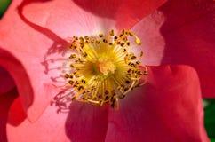 Flor cor-de-rosa com pistilos amarelos em um jardim Imagem de Stock Royalty Free