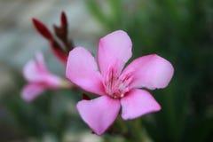 Flor cor-de-rosa com tiro do close up fotografia de stock royalty free