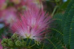Flor cor-de-rosa da árvore de seda Foto de Stock Royalty Free