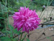 Flor cor-de-rosa da cor-de-rosa imagem de stock royalty free