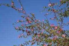 Flor cor-de-rosa da acácia Foto de Stock