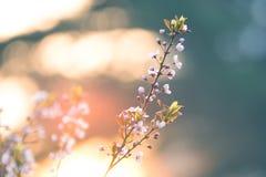 Flor cor-de-rosa da ameixa na opinião do close-up da manhã da luz do sol imagens de stock
