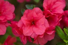 Flor cor-de-rosa da azálea Imagem de Stock