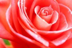 Flor cor-de-rosa da beleza fotos de stock royalty free
