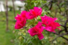 Flor cor-de-rosa da buganvília Fotografia de Stock
