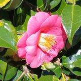 Flor cor-de-rosa da camélia Fotos de Stock Royalty Free