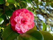 Flor cor-de-rosa da camélia imagens de stock